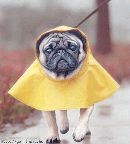 Dog wearing raincoat