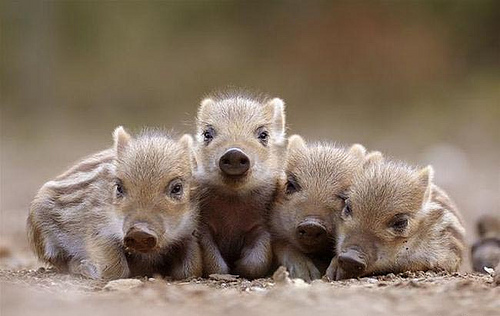 Four little wart hogs all in a row