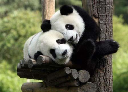 Two pandas sitting in a tree … h u g g i n g