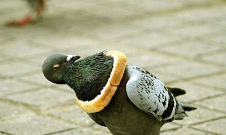A pigeon in a conundrum