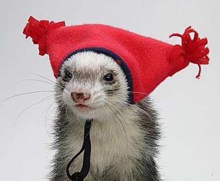 So now we're dressing up ferrets?
