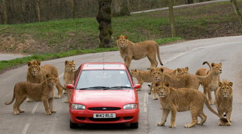 Wondering where the lions are? These people aren't!